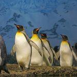 なぜヨチヨチ歩きなのか?ペンギンの脚の特徴