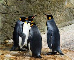 ペンギン 寒さ