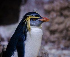 ペンギン 冠羽