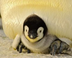 ペンギン 雛
