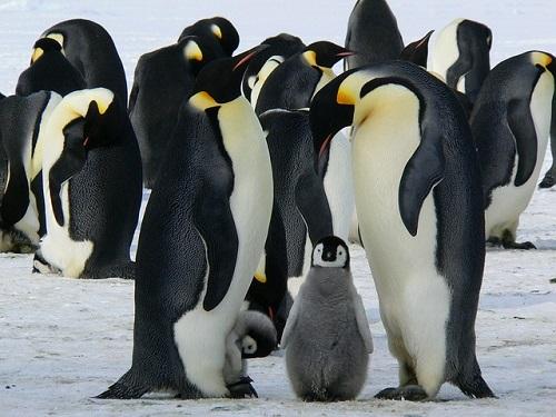 ペンギン 子供