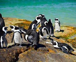 ケープペンギン 絶滅危惧種