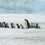 皇帝ペンギンの英語表記や発音について!