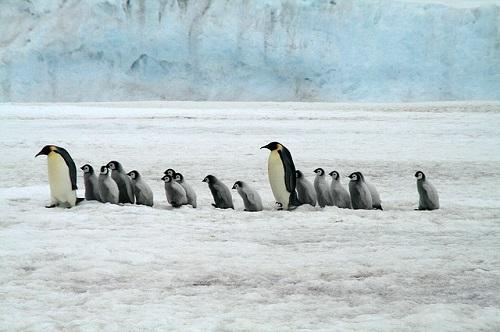 皇帝ペンギン 英語 発音