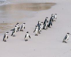 ケープペンギン 寿命