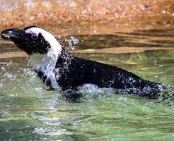 ケープペンギン 生息地