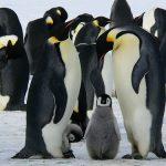 皇帝ペンギンのひなの大きさや成長の様子について!
