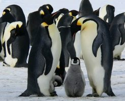 皇帝ペンギン ヒナ 大きさ