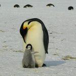 皇帝ペンギンのオスメスの見分け方とは!?