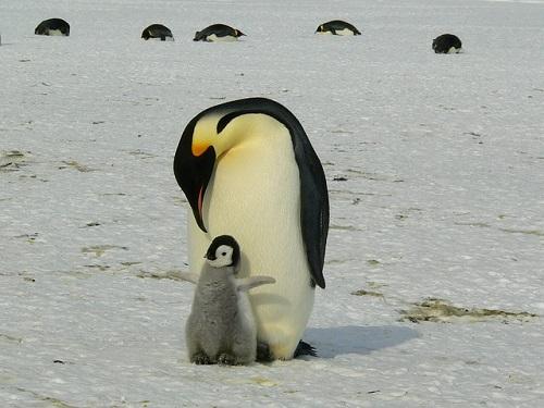 皇帝ペンギン オス メス