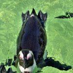 ケープペンギンとマゼランペンギンとフンボルトペンギンの違いは?