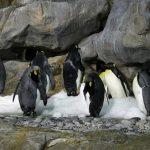皇帝ペンギンのヒナってどんな鳴き声なの!?