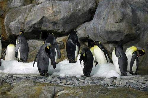 皇帝ペンギン ヒナ 鳴き声