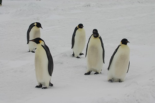 皇帝ペンギン ヒナ 奪う